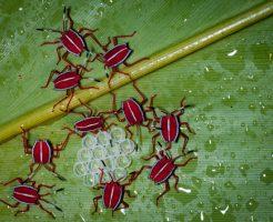 カメムシ 幼虫 赤