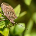 カメムシを食べる虫は本当に存在するのか?