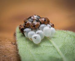 カメムシ 幼虫 生態
