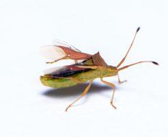 カメムシ 繁殖力
