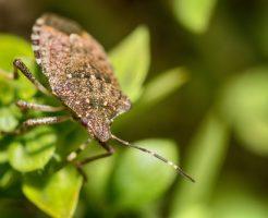 カメムシ 食べる 虫